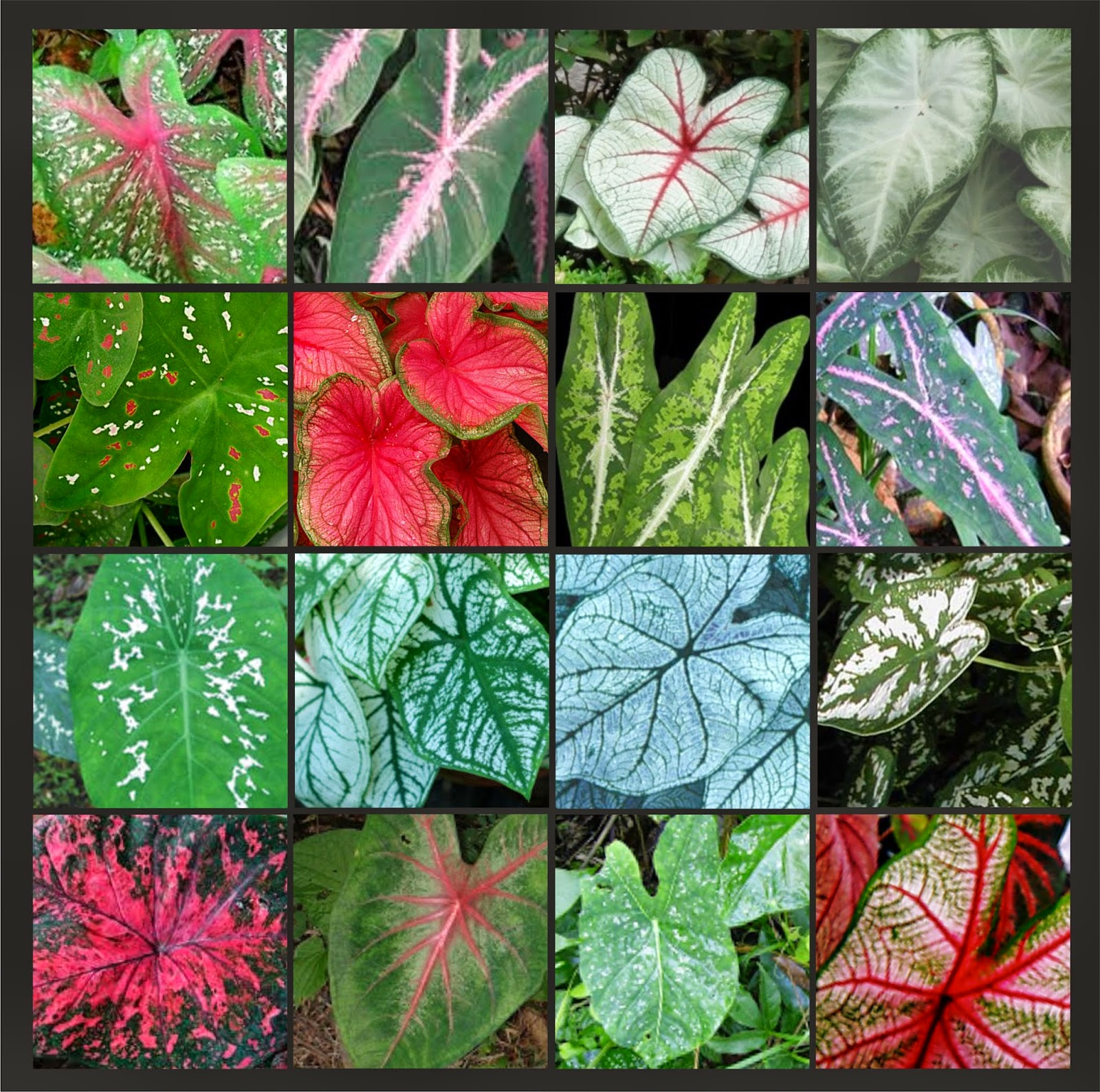 V e r d e c h a c o ornamentales en nuestros jardines 4 for Hojas ornamentales