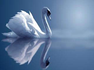 Swan Reflection New Desktop Wallpaper