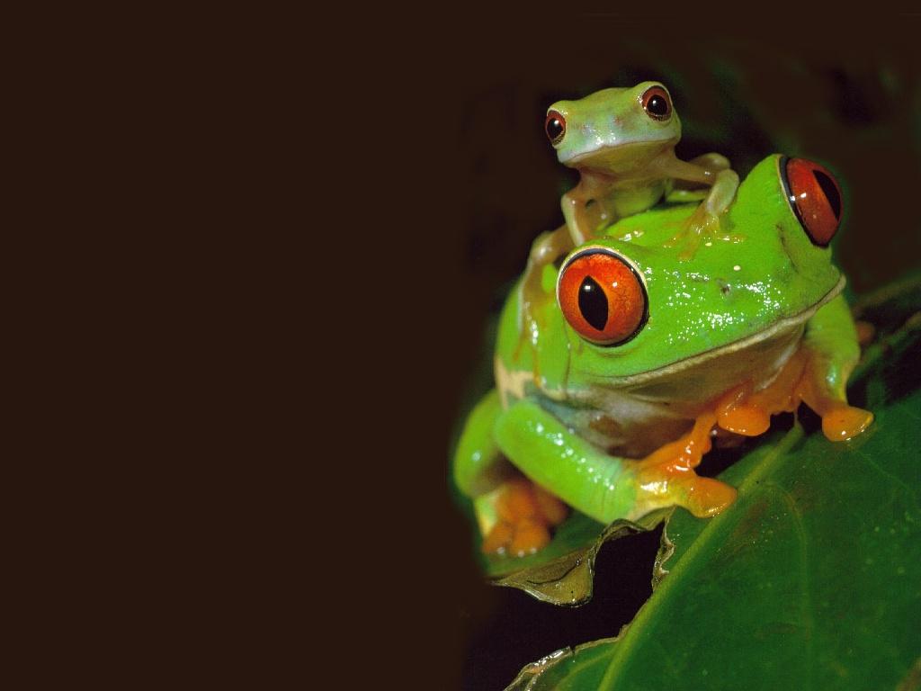 http://1.bp.blogspot.com/-5b4F4VS-NyU/TbgY9LkBEeI/AAAAAAAAERI/9QMDGnm4SP0/s1600/Red_eyed_Tree_Frog.jpg