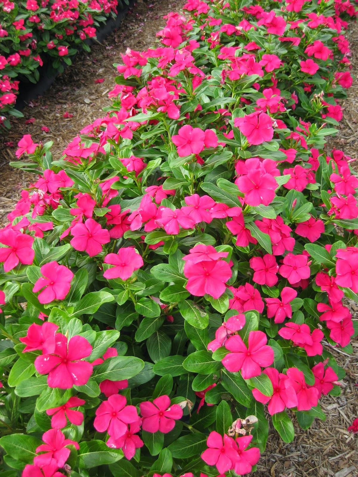 Annual vinca catharanthus roseus rotary botanical gardens izmirmasajfo Gallery