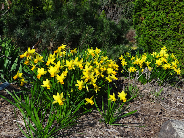 Daffodils in bloom on April 2, 2012