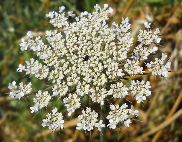 The dark purple floret in the center of the Queen Anne's Lace, White Rock Lake