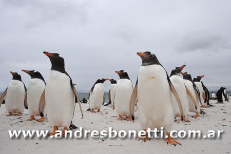 Pingüino Papua - Gentoo Penguin -  Isla Carcass - Carcass Island - Isla Malvinas - Patagonia - Falkland Islands - Andrés Bonetti