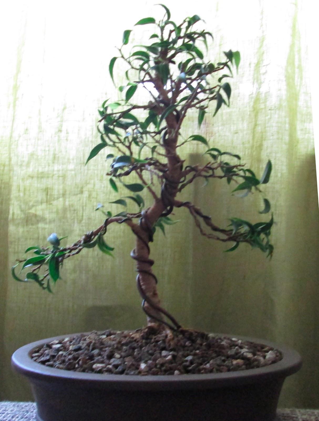 Bonsai Gestaltung Eines Ficus Benjamina Pandora