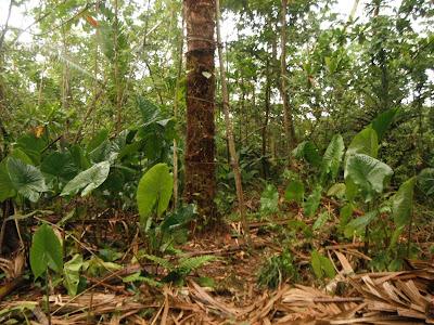 leaf shape: sagittate
