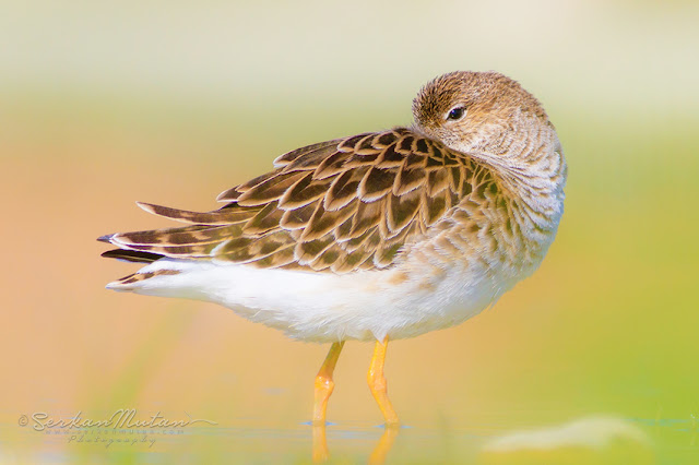 döğüşken kuşu