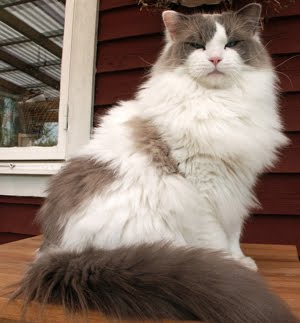 Long Haired Domestic Cat | Fun Animals Wiki, Videos ...
