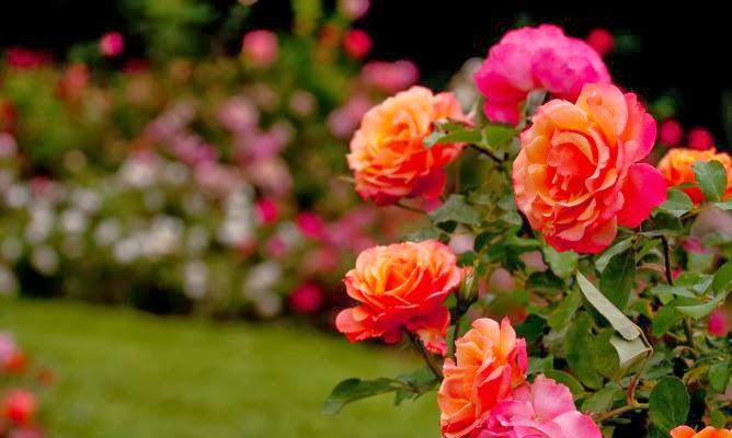 Arte y jardiner a poda de los rosales for Jardineria rosales