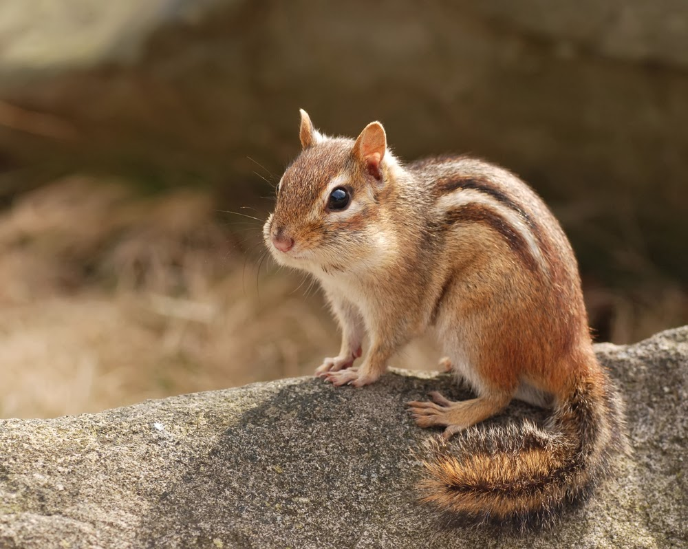 Chipmunks animals facts latest pictures the wildlife for Are fish mammals