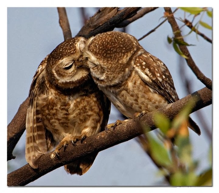 Couple of Aowl