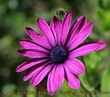 flowers pictures aster flowers pictures, Beautiful flower