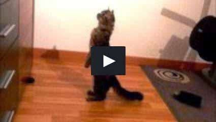 Cat Patiently Stands Like a Human