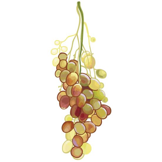 Racimo de uvas - vector