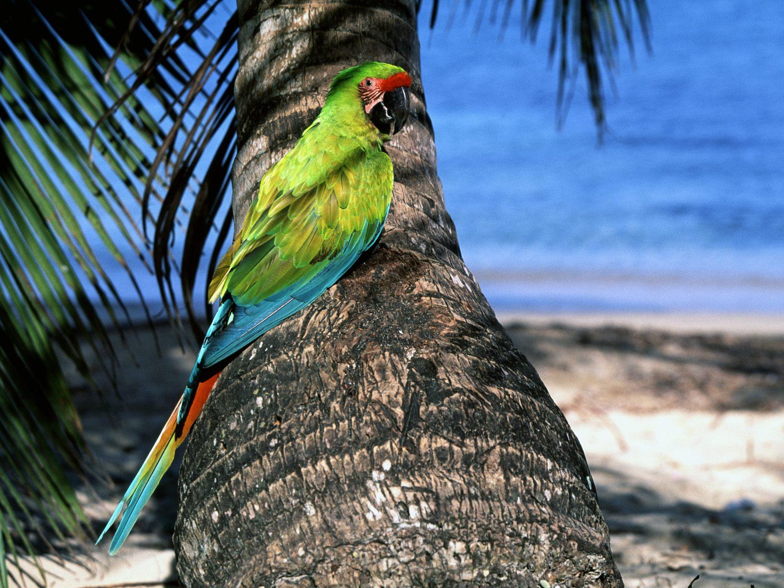 cute macaw parrot desktop - photo #30