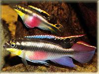 Kribensis Fish Pictures