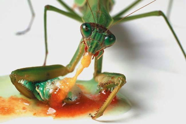 Hunting and feeding (19 pics), Praying mantis eating a caterpillar