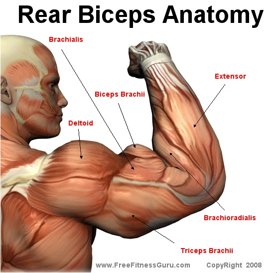 How to loss weight and get in shape workouts bicep anatomy for Exterieur triceps