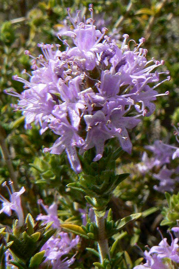 Thymbra capitata 15 seeds Conehead thyme-Pink flowers