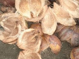 manggar mengambil lidi kelapa muda kelapa tua