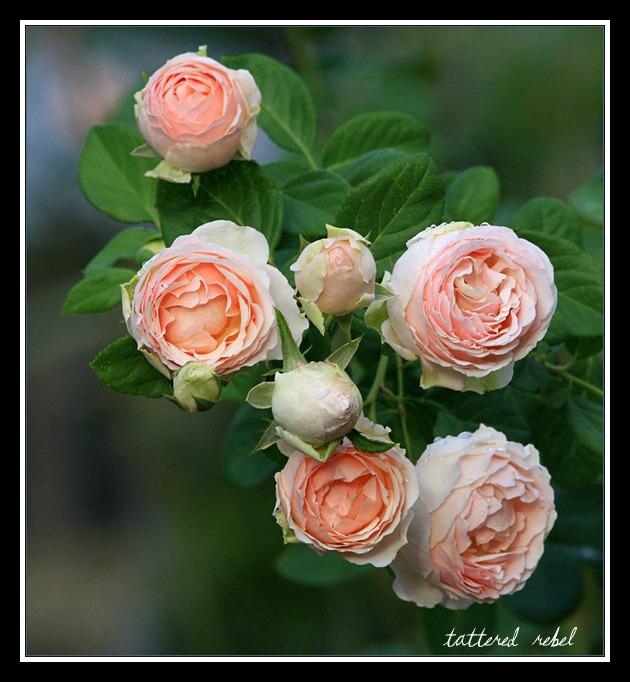 Tattered Rebel I Never Promised You A Rose Garden