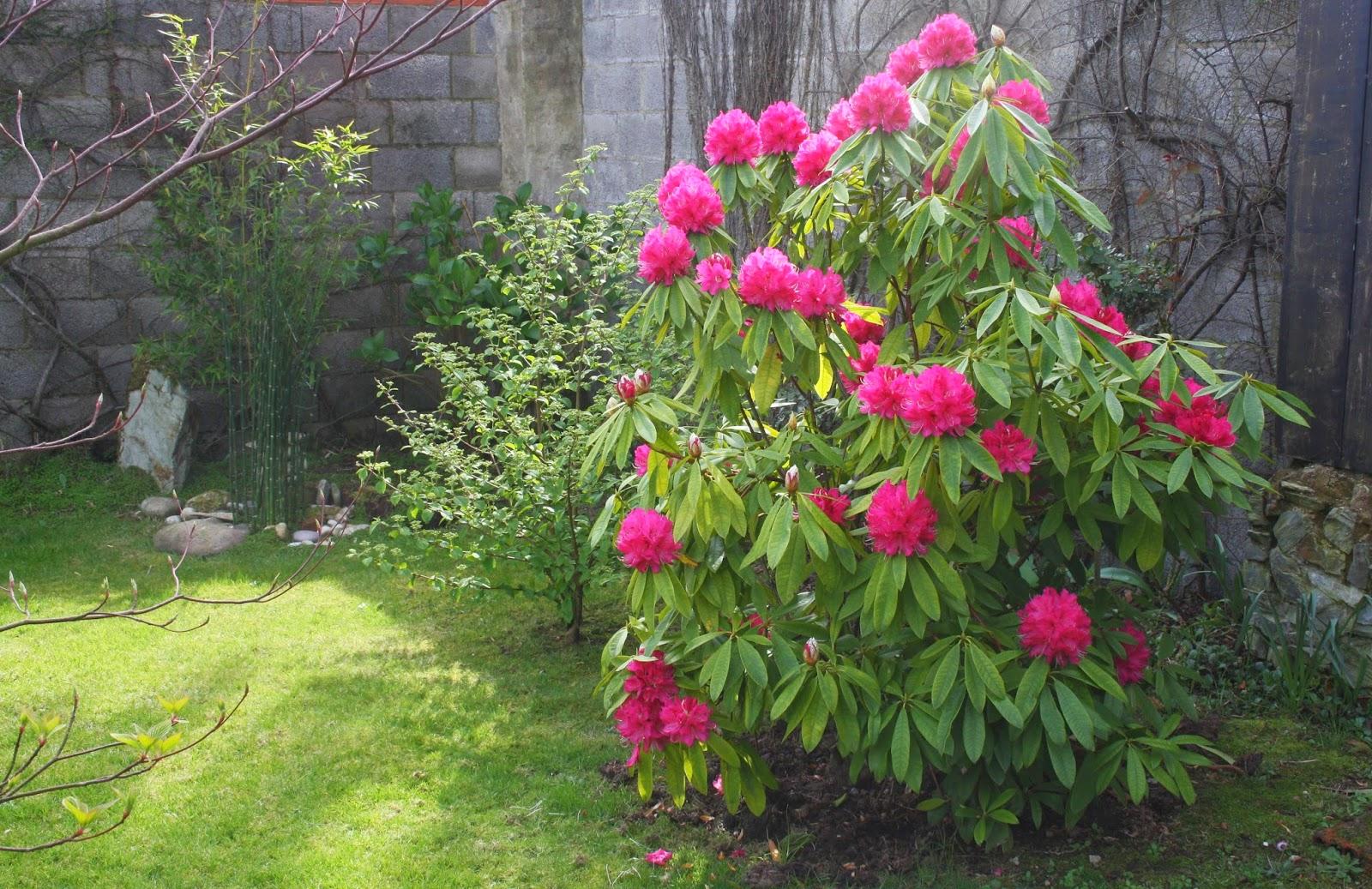 El jard n de margarita rododendro en plena floraci n - Rododendro arbol ...
