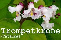 http://kolonihavelivet.blogspot.dk/2015/08/trompetkrone-catalpa-sp.html