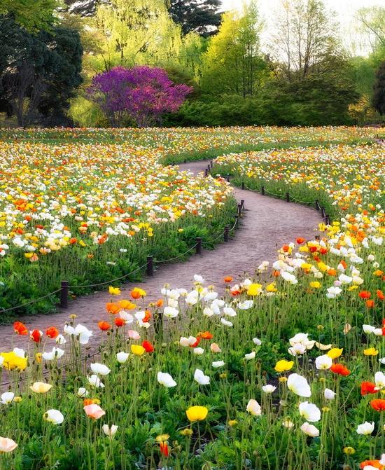 Poppy fields in Showa Kinen Park in Tokyo