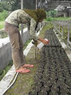 semai tumbuhan paku, cara budidaya tumbuhan paku, cara menyemai spora,