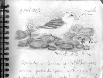 Escribano nival (Plectrophenax nivalis - Snow Bunting)