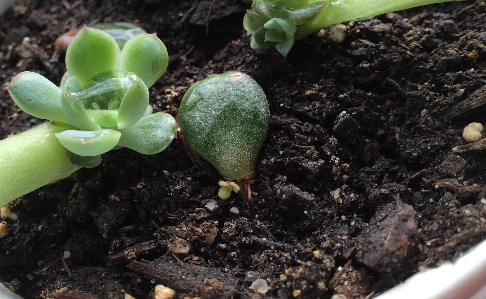 jade plant leaf propagation