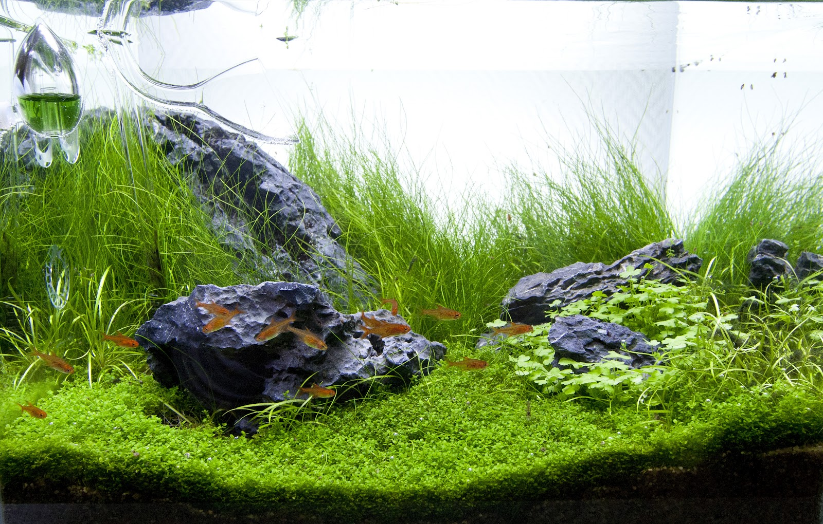 ... Hydrocotyle sp. Japan, which is a really nice plant for aquascaping