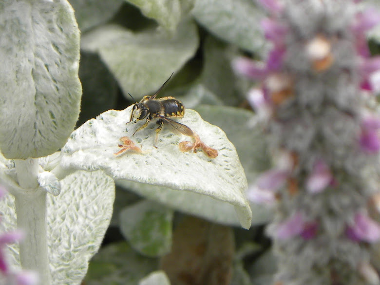 A CARDER BEE