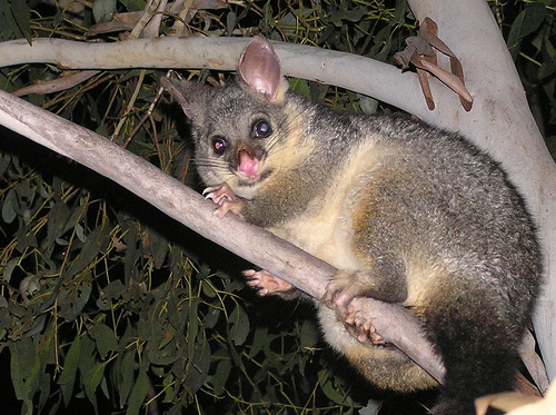 what where why  the common brushtail possum