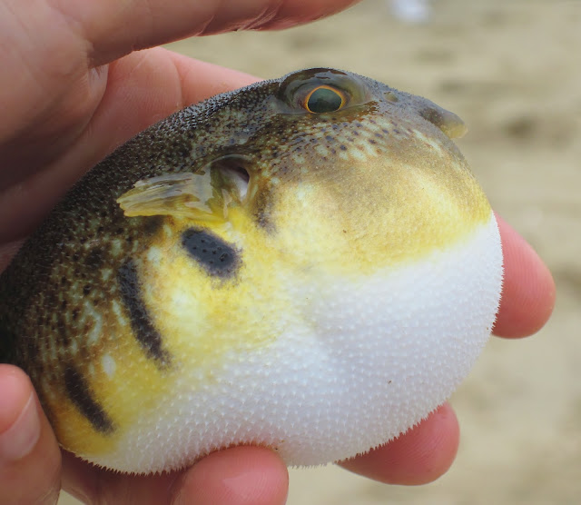 Blow fish blowing in ny harbor nature on the edge of new for Mini puffer fish