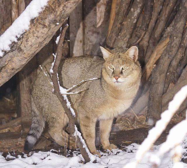 мех камышового кота