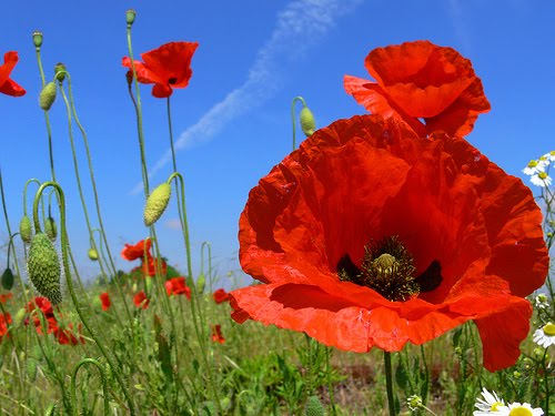 Beautiful poppy flower pictures our favorite poppy flower red poppy flower pictures mightylinksfo Choice Image