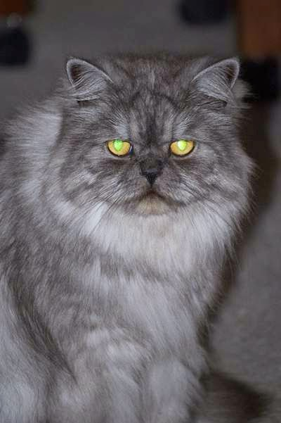 kucing-persia-berwarna-asap-diselimuti-bulu-putih