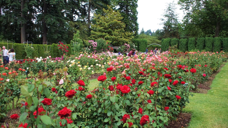 Transplanted to portland portland rose test garden - Rose cultivars garden ...