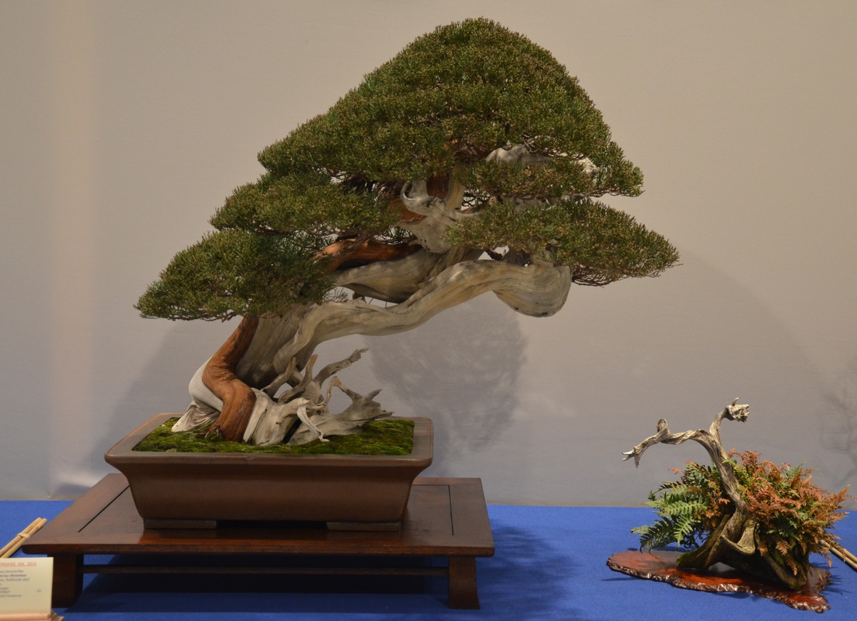 Bonsai Living Art Noelanders Trophy 2012 First Impressions