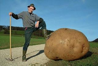 Riesenkartoffel RUssland