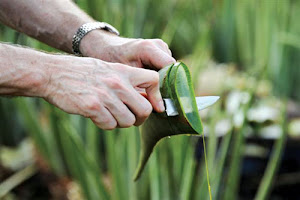 Extracting Gel From Aloe Vera