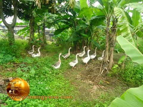 Angsa sedang mencari makan di kebun. Foto jepretan admin