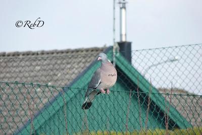 duva på staket. foto: Reb Dutius