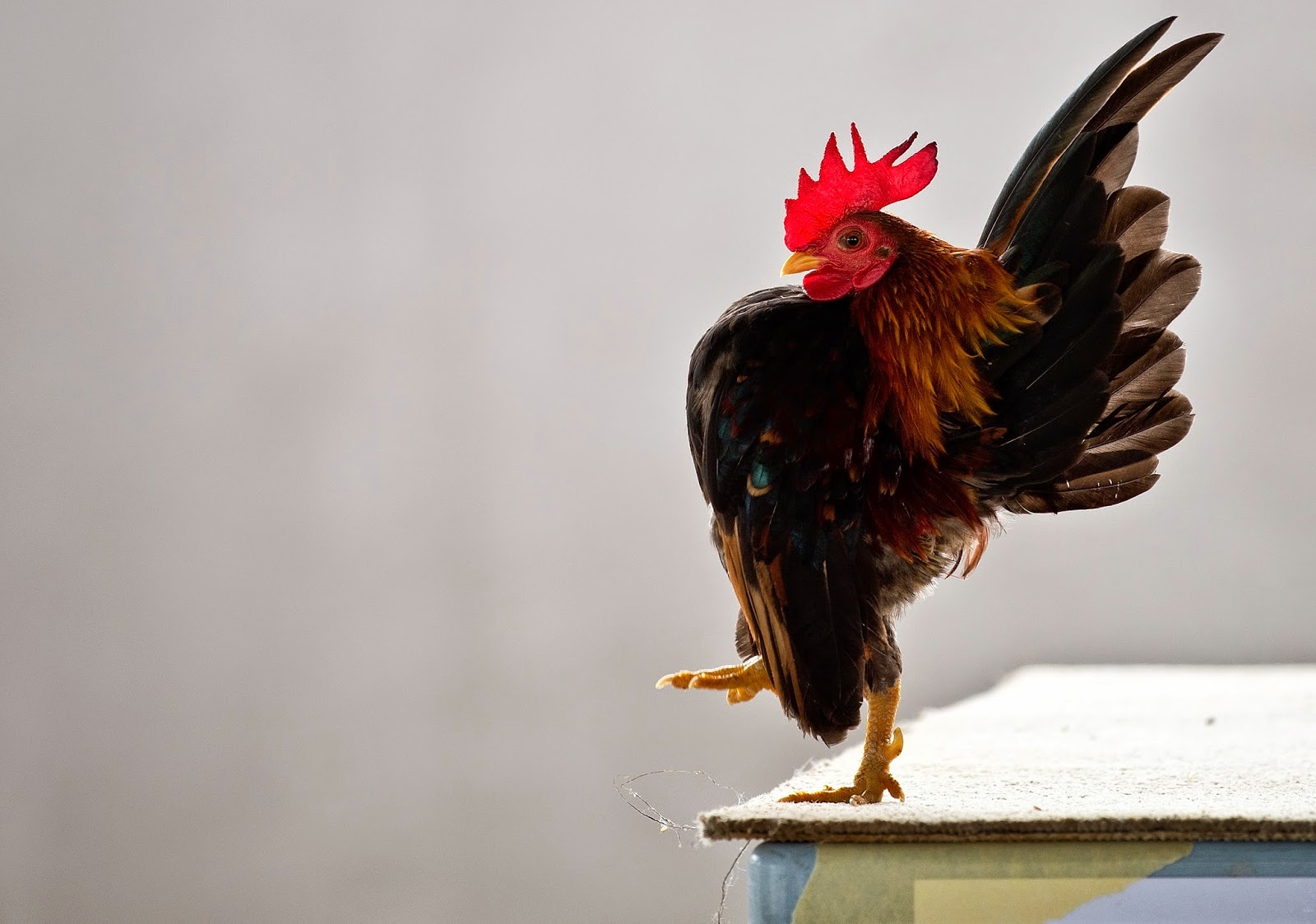 The World of Serama Chicken Beauty Pageant in Malaysia