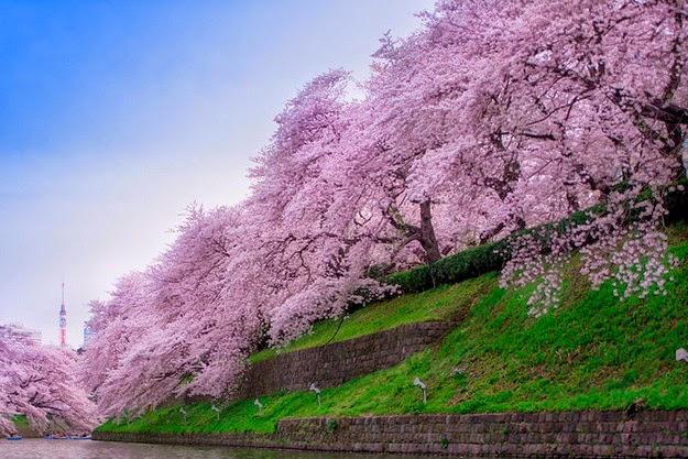 sakura blossom-3