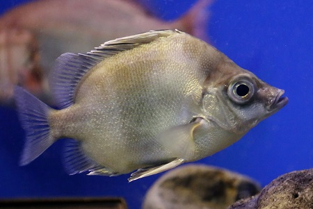Japanese boarfish