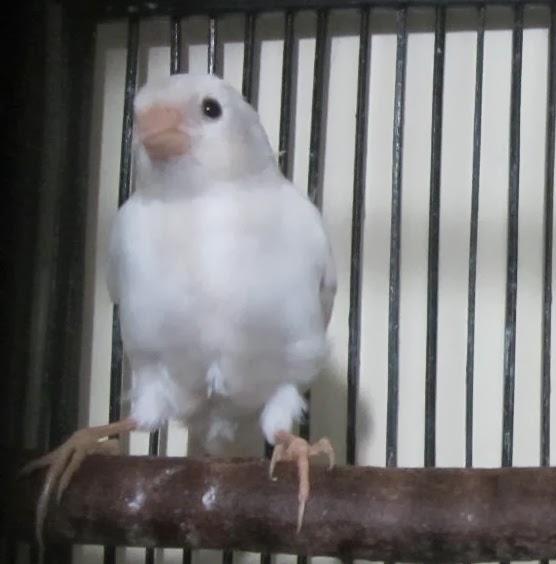 budidaya burung dijual kenari putih polos di jakarta