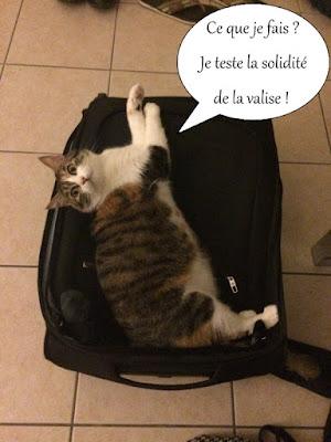 Chatte isabelle allongée sur une valise.