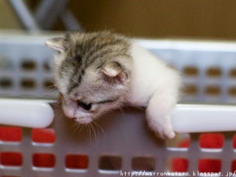 洗濯カゴから逃げ出す子猫