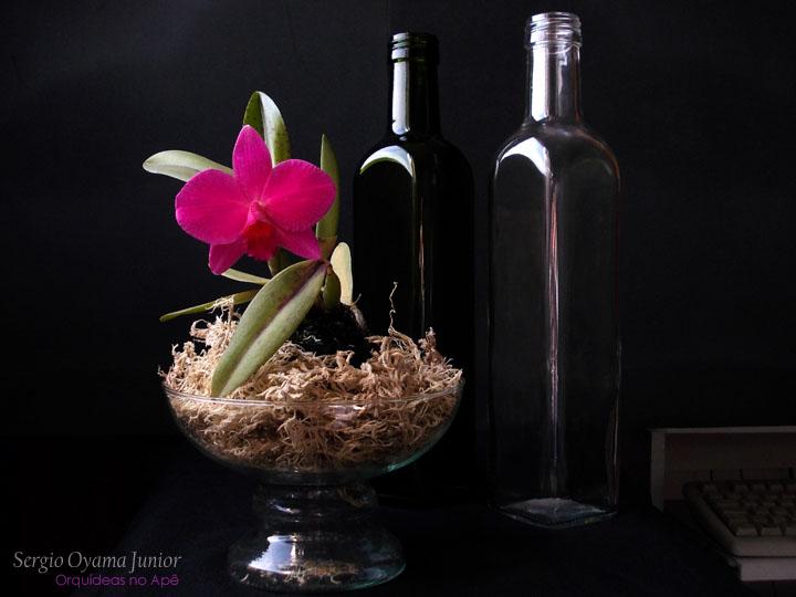 Mini-orquídea Sophrolaelia Orpetii